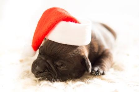 bulldog-christmas-dog-3884